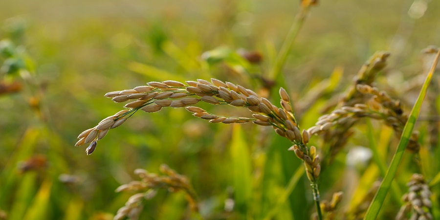 Robust demand from Southeast Asian rice importing countries