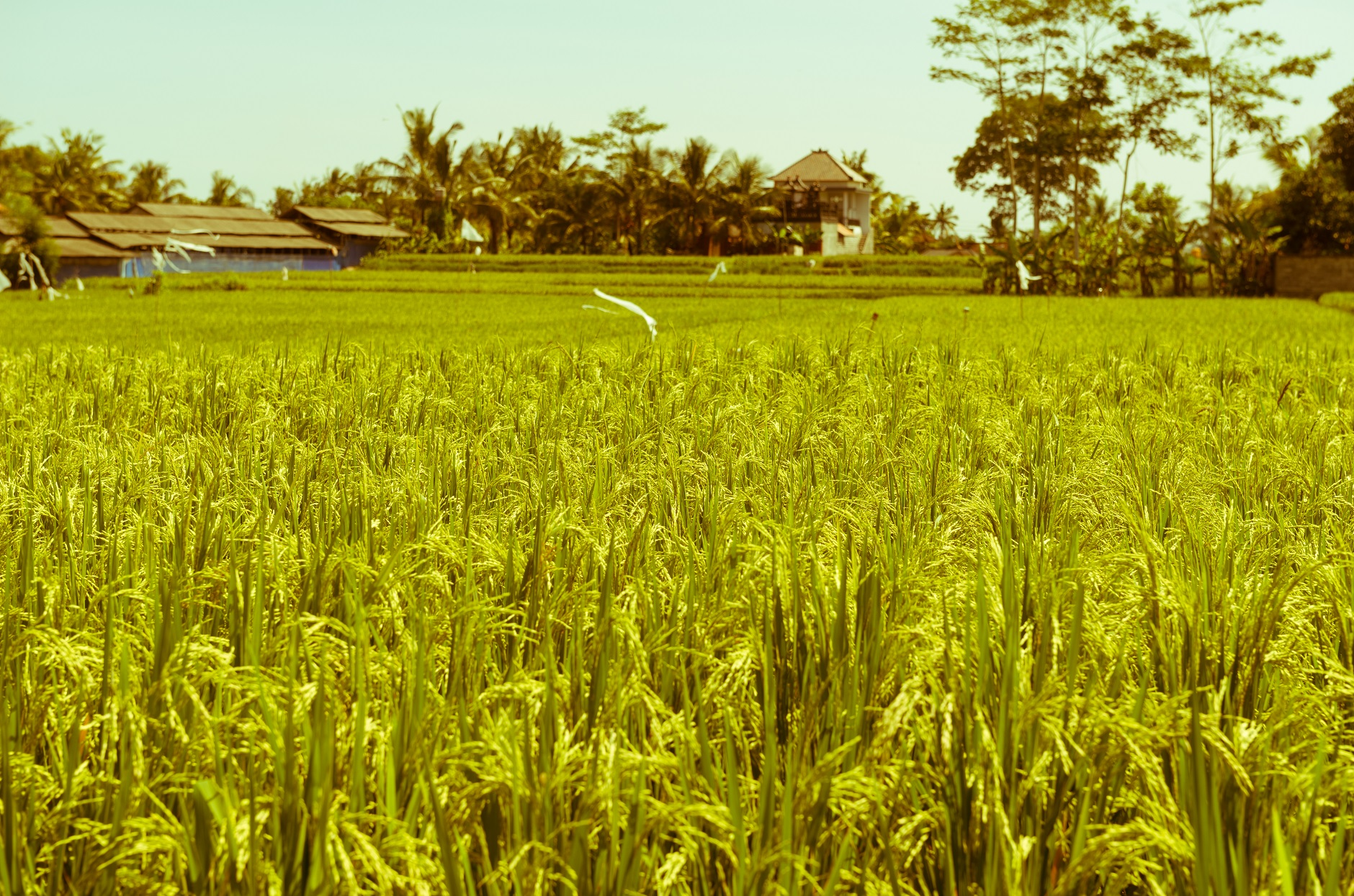 Rice trade continues to increase around the globe
