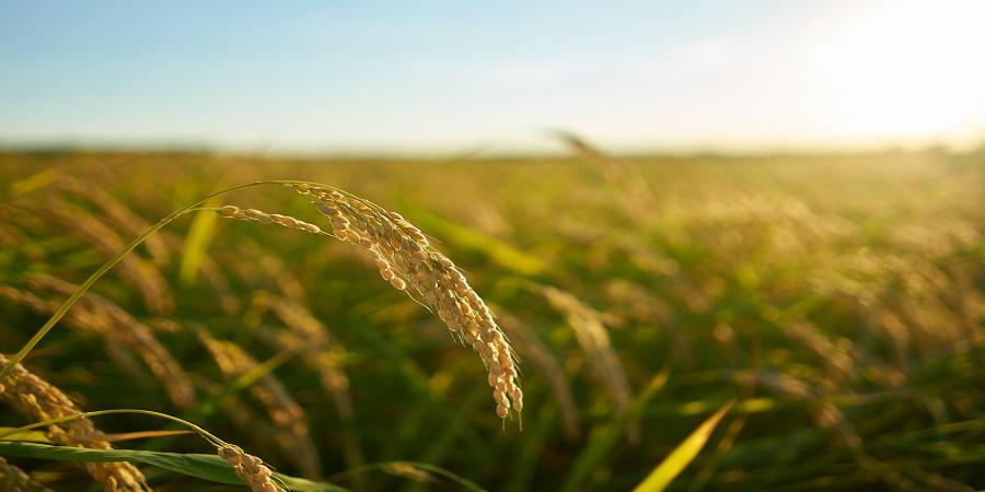 The growing rice trade around the globe